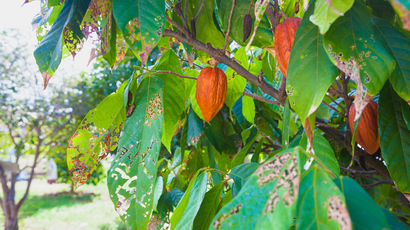 Cocoa beans growing on a farm