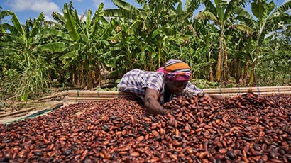 A cocoa farmer working with cocoa beans.